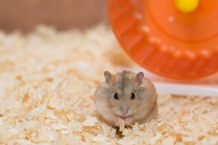 Hamsters and the Items They Need For Special Care