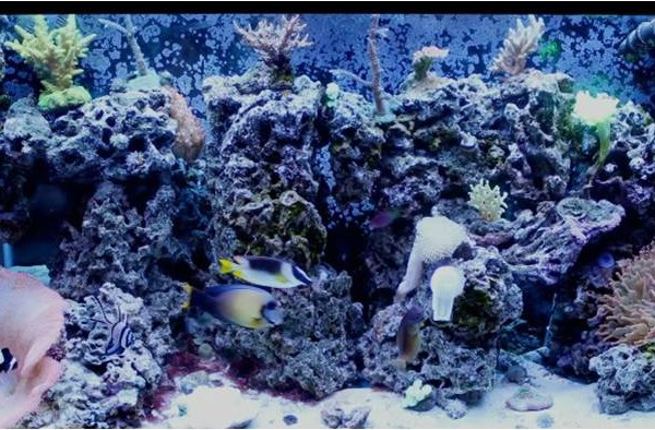 Live Corals for Your First Reef Tank