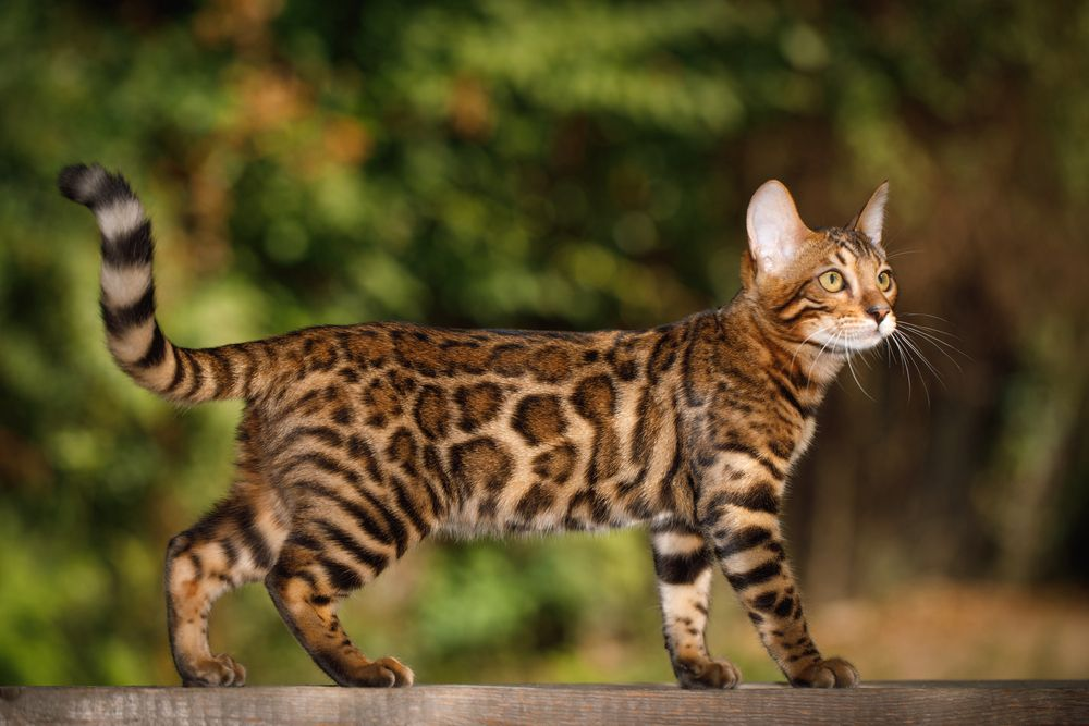 What You Need to Know About Bengal Cat