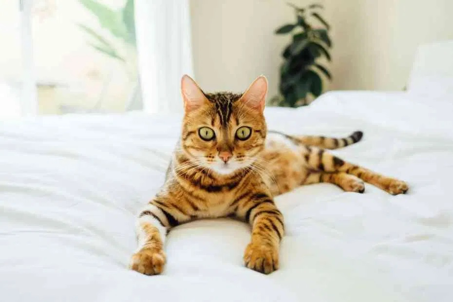 Are Bengal cats high maintenance as pets?