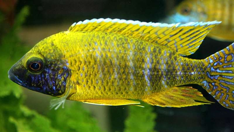 The Details You Need for the African Cichlids