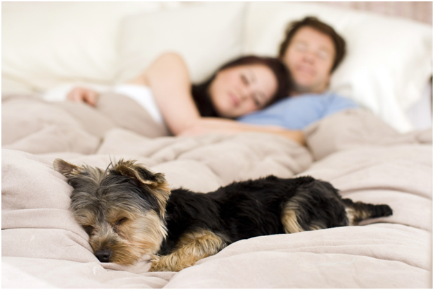 Why do dogs sleep at the foot of the bed