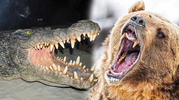 Can American Black Bear Kill American Alligator in fight?