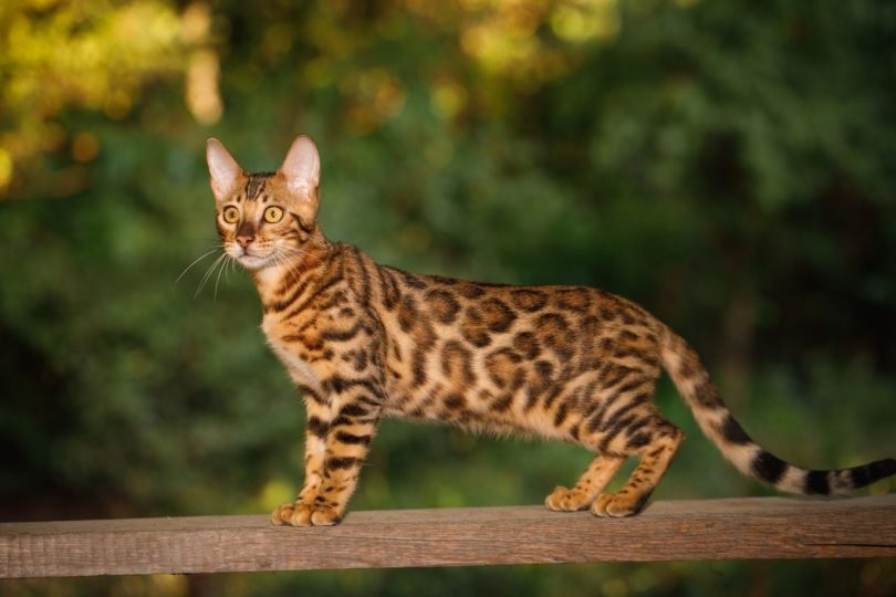 Important Things to Know about Bengal Kittens