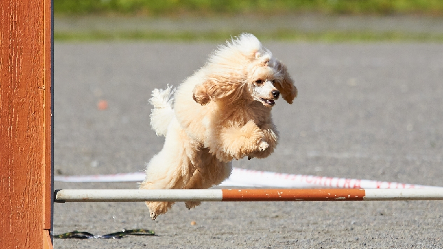 What You Should Know About Dog Agility Training