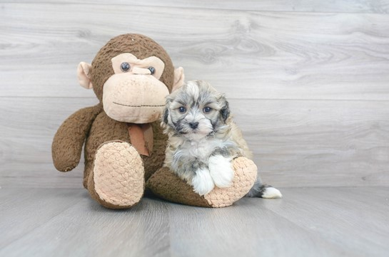 Havanese Puppies For Sale: Are You Ready To Become A Puppy Owner?