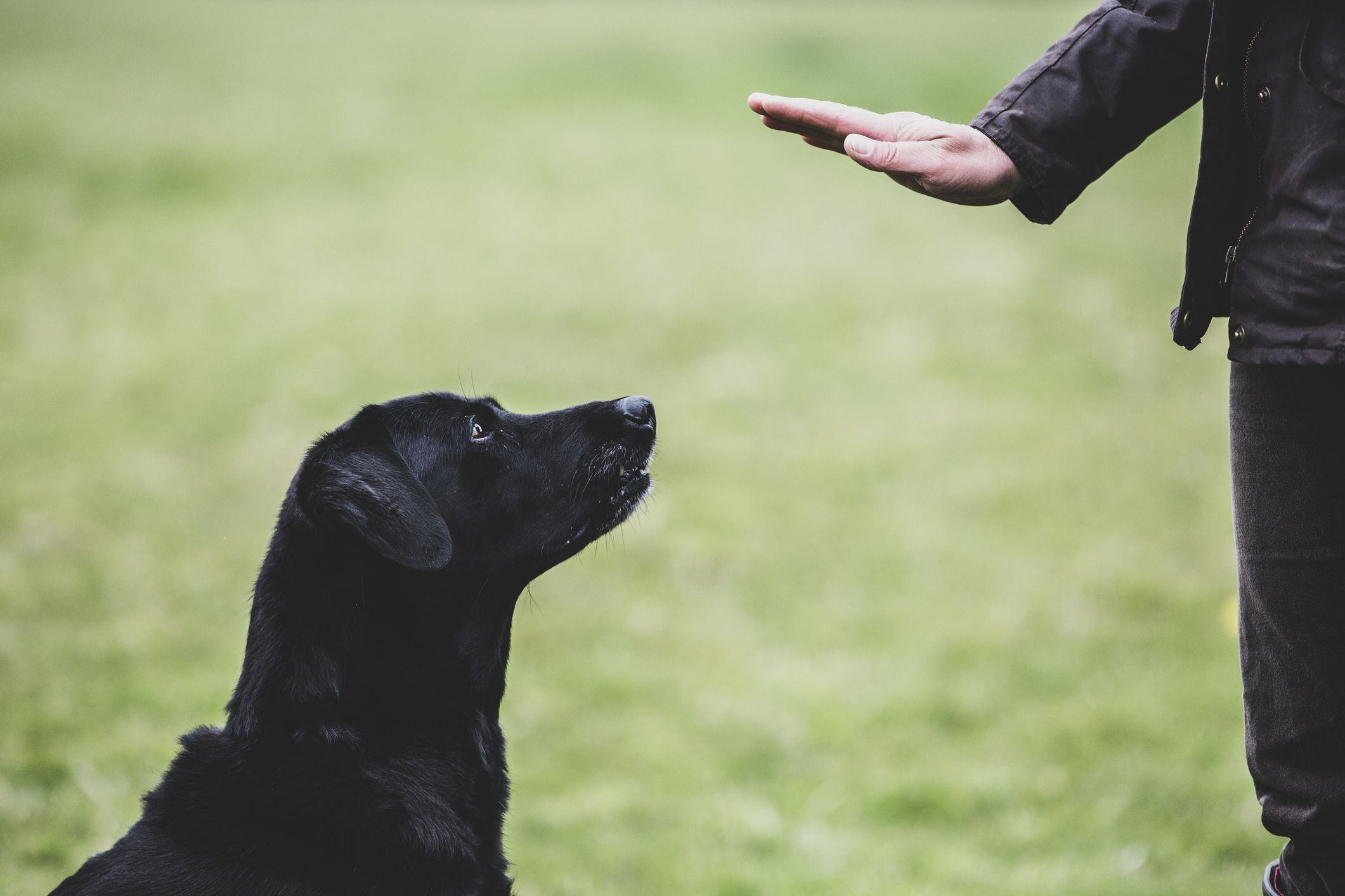a-dog-trainer-giving-a-hand-command-to-black-labrador-dog–1153579373-cb14c8fb30724468a702c972910c6f2a